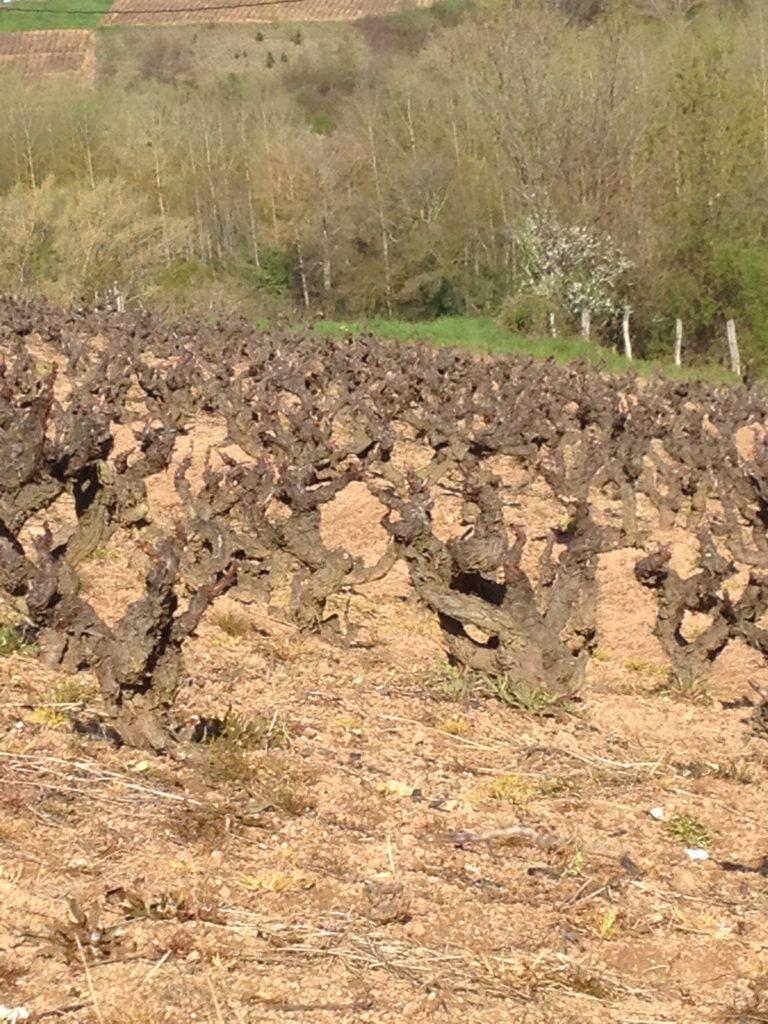 Gamay Vines AOC Chénas
